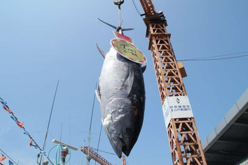 「鮪魚裡最頂級的種類是黑鮪魚,又稱為『本鮨』,即『真鮪魚』之意。全世界百分之八十的黑鮪魚都賣到日本。」(資料照,取自屏東縣政府)