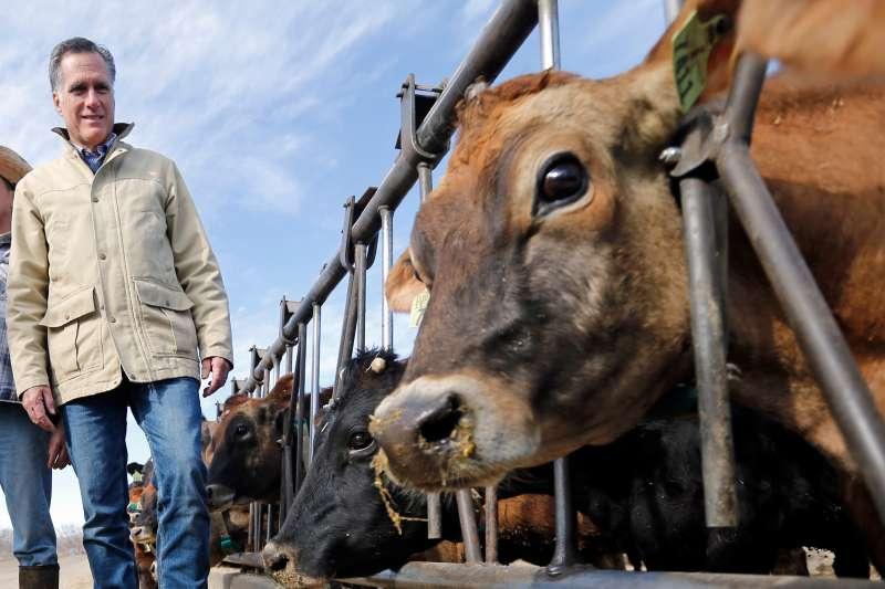 科學家推測,牛可能會在未來幾個世紀內成為地球上最大的陸地哺乳類動物。(AP)