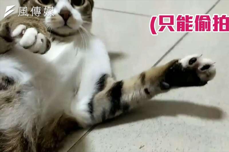 每次看到都好想摸!貓咪療癒肉墊大解密!摸太久小心貓掌伺候喔!