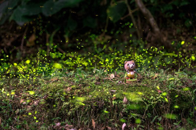 2018年的螢火蟲季來了,數量、種類最多的季節出現於三月下旬至六月,碧潭旁的「和美山」正是賞螢火蟲的好去處。(圖/網路溫度計提供)