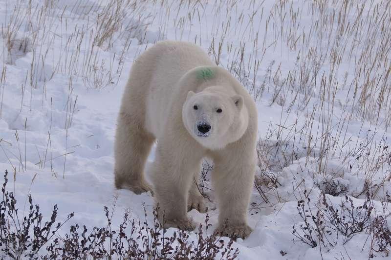 曾經誤闖鎮區的兄弟熊,背上綠點代表曾被關入全球唯一的「北極熊收留所」。(圖/時報出版提供)