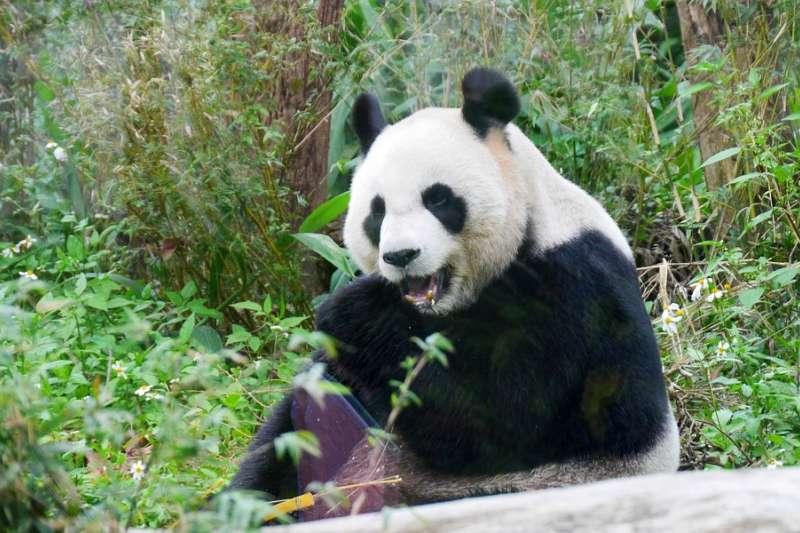 貓熊的黑眼圈變白了?中國成都多隻貓熊的眼周脫毛,但病因不明,成都大熊貓繁育研究基地束手無策。(圖/取自pixabay)