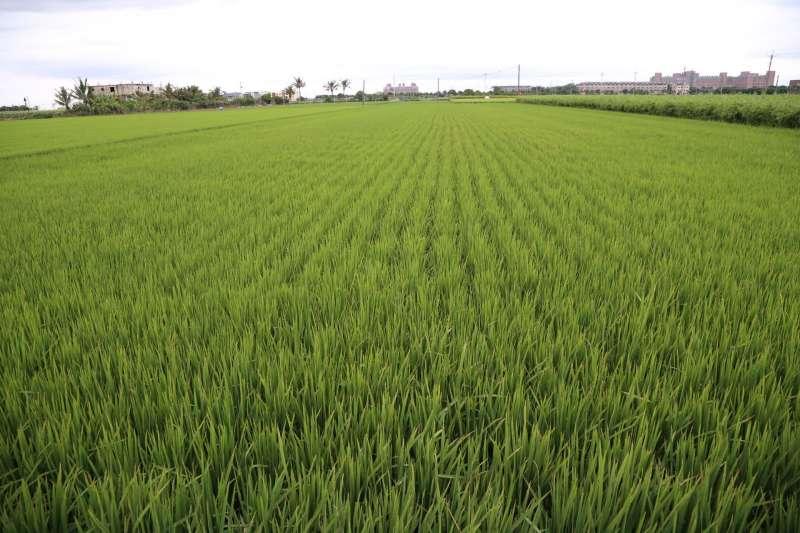 筆者表示,隨著內外在因素影響,國內稻米政策需要做出調整及改變,政府應制定因地制宜的給付制度,並打造具本土特色的米食產品吸引消費者。圖為嘉義縣農田。(資料照,嘉義縣政府提供)