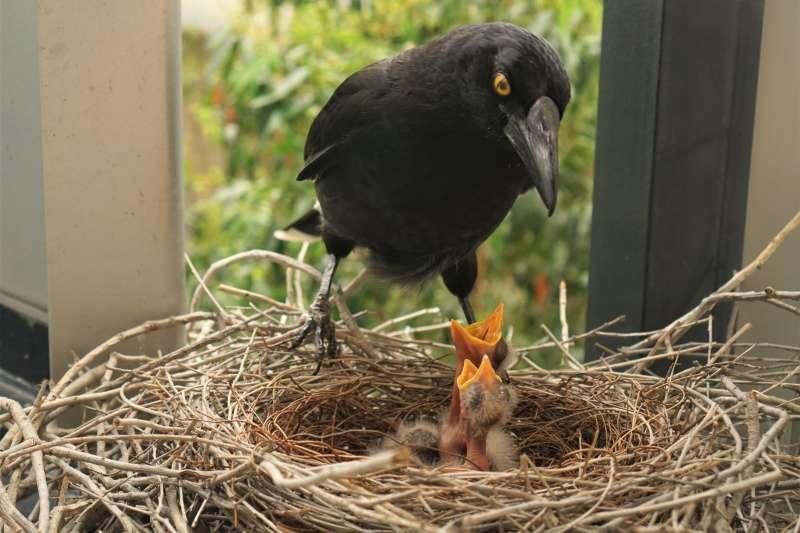 鳥類的祖先過去不築巢、在地上生蛋,為何現在的鳥類開始築巢了呢?(圖/interestedbystandr@flickr)