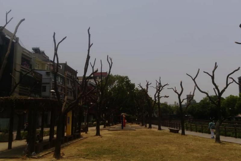 中壢溪洲路旁公園的樟樹全部被截頂片葉不留,只剩下光禿禿的枝椏高舉。(作者曾俊鑾提供)