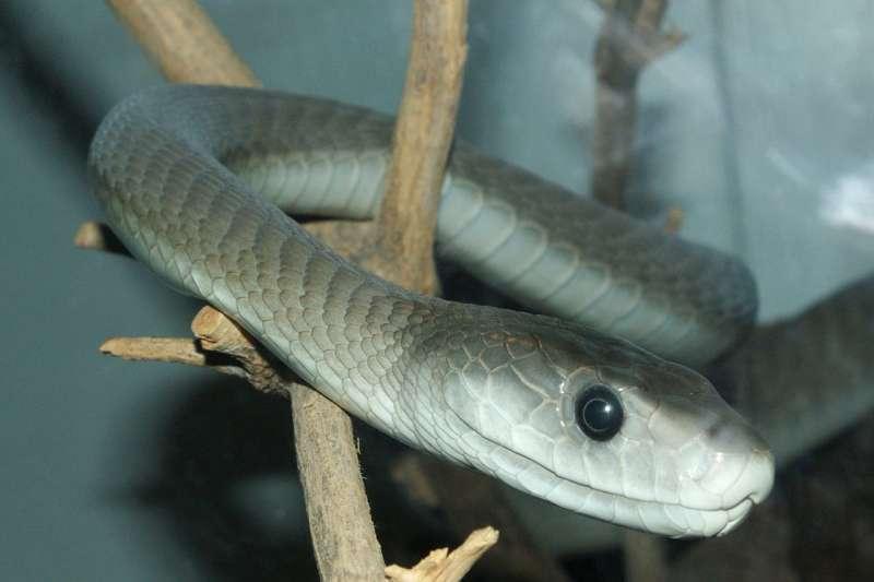 分布於非洲撒哈拉以南的黑曼巴因為蛇毒發作快速,比擁有劇毒的內陸太攀蛇造成更多人死亡。(wikipedia/public domain)