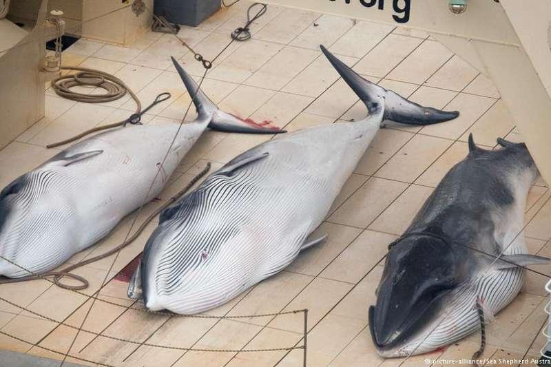 日本的捕鯨行為一直飽受詬病。(德國之聲)