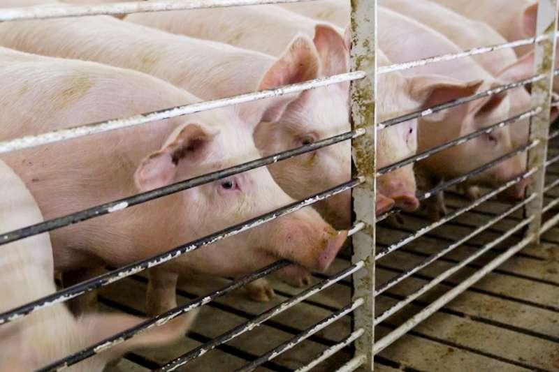 墨西哥為了報復美國祭出鋼、鋁關稅,5日針對美豬、農產品總值30億美元的貨品祭出關稅。圖為美國養豬場內的豬隻(AP)