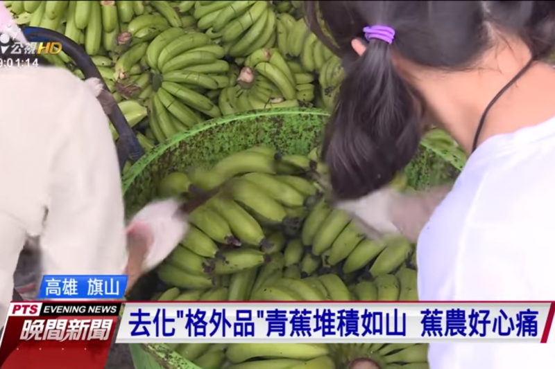 台灣香蕉產量過剩價格崩跌,農委會啟動收購香蕉作業,農政官員以刀片破壞外觀去商品化。(截圖公視新聞)