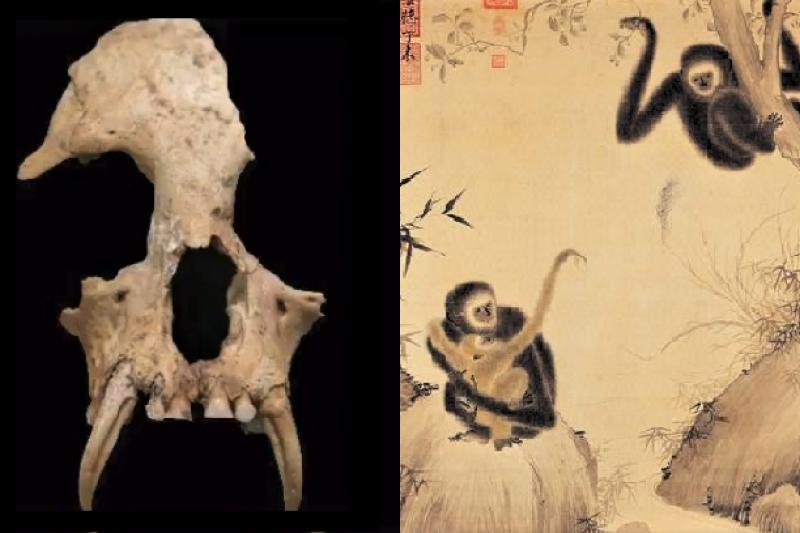 考古學家在秦始皇祖母墓中發現超罕見的動物遺骸,科學家證實是一種已滅絕的長臂猿。(示意圖/圖右取自維基百科、圖左取自youtube)