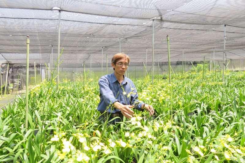 台中市農民洪志文培育文心蘭年產量約為100萬支,9成產量外銷至日本、香港及新加坡。(圖/臺中市政府提供)