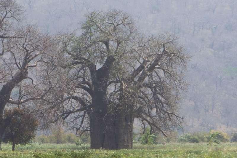 非洲辛巴威的「猴麵包樹」是長壽象徵,近來卻有研究團隊發現它神秘死亡。(AP)