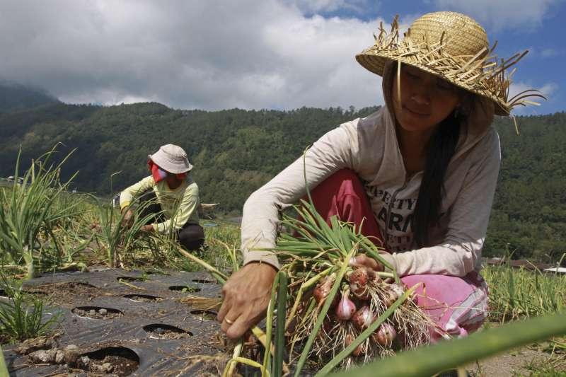 印尼政府希望能與中小企業合作,吸引年輕人到鄉村務農。(美聯社)