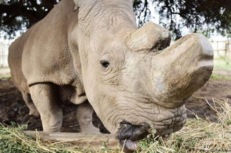 研究人員成功培育瀕臨絕種犀牛。(德國之聲)