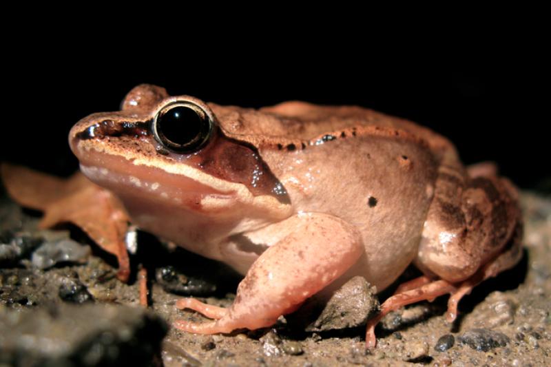 尿急找不到廁所,好痛苦?對木蛙來說,根本沒有這種問題!牠們能夠整個冬天不排尿,甚至用「憋尿」來牠們維持的生命。(圖/ana sylvatica@ wikimedia commons)