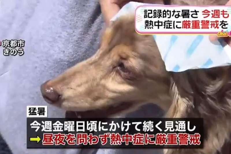東、西日本近日高溫不斷創新高,除路上行人撐陽傘、拿手持電扇散熱外,狗狗也敷上冰袋。(翻攝影片)