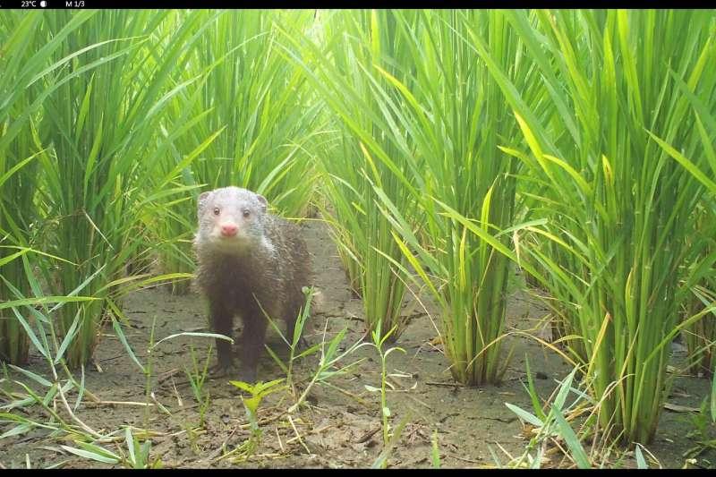 今年六月在石虎田出沒的食蟹獴(圖/新竹林管處提供)