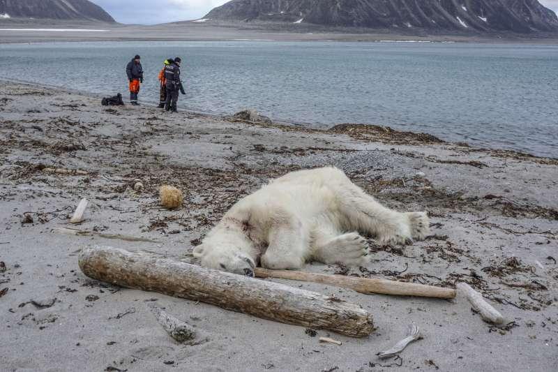 遊輪保全人員為保護負傷同事,舉槍射殺北極熊。(美聯社)