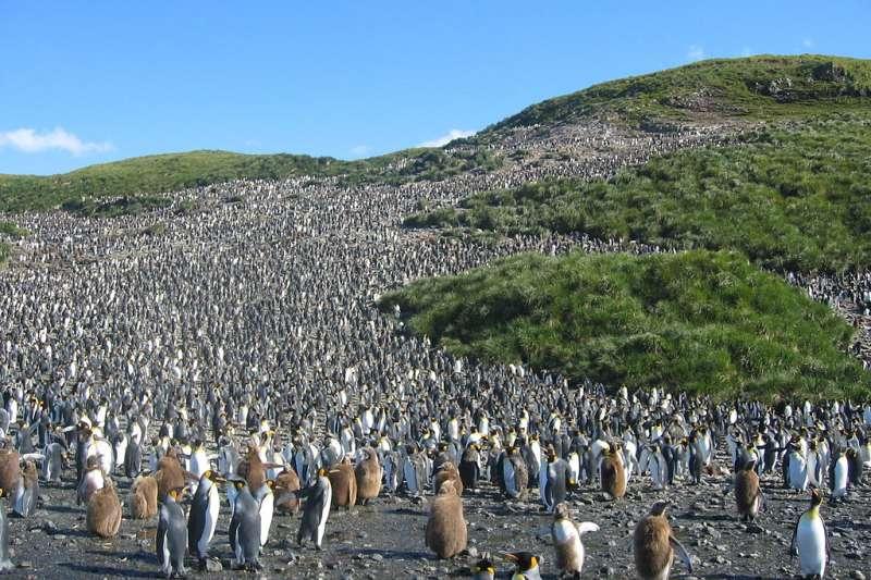 英屬南喬治亞島2006年的國王企鵝。(Pismire @ Wikipedia / CC BY-SA 3.0)