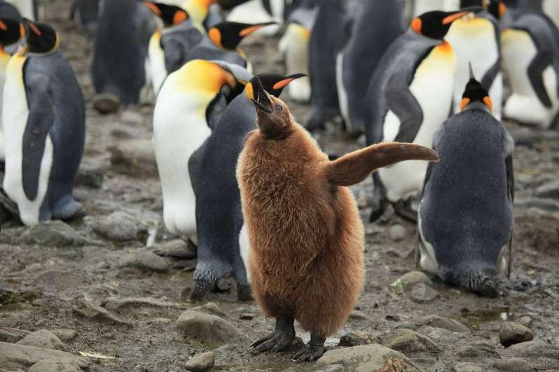 國王企鵝的幼鳥。(Liam Quinn @ Wikipedia / CC BY-SA 2.0)
