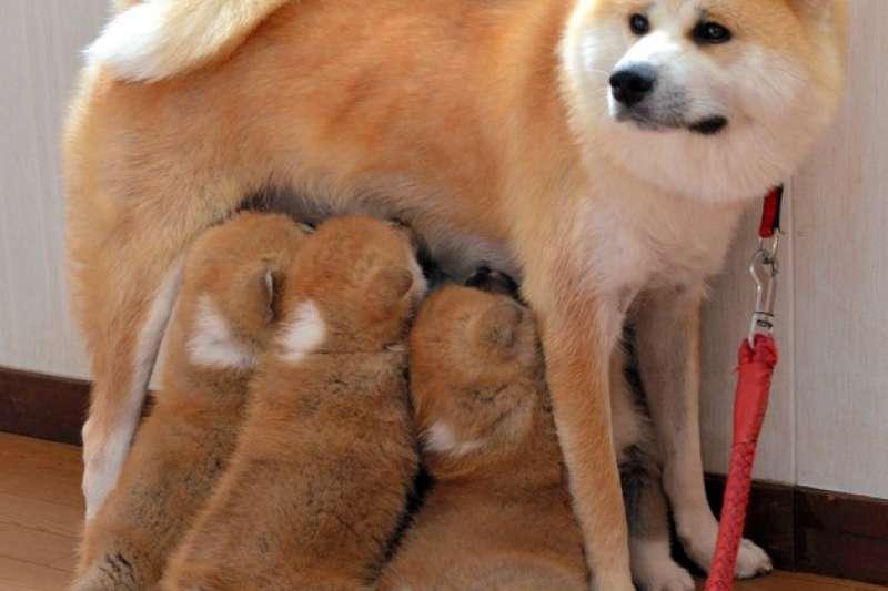 小溫餵奶給6隻幼犬(圖/潮日本提供)