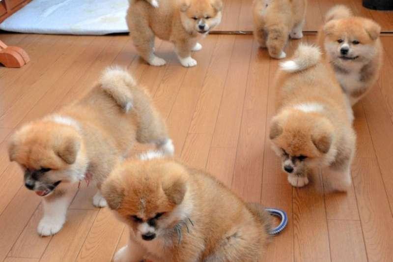 小溫生的6隻幼犬,公母各3隻(圖/潮日本提供)