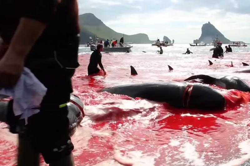 丹麥法羅群島每年夏天的捕鯨活動總是染紅海灣(截自YouTube)