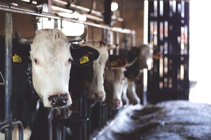 外國網友拍片指出乳牛受虐,但這些是真的嗎?(示意圖/freestocks.org@pexels)