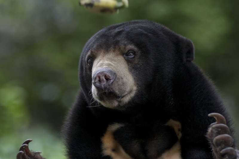 馬來熊,泰國,動物園(AP)