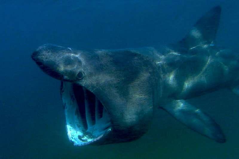 姥鯊是全球第二大魚類,行蹤卻非常神秘,在科學家眼裡仍是謎團重重。(圖/Green Fire Productions @wikimedia commons)