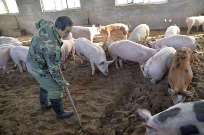 一名工人在河北省邯鄲的一個養豬場裡工作。(美國之音)