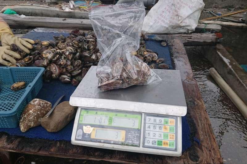因受到中國養殖鮑魚大量「傾銷」影響,台灣鮑今年價格疲軟,讓養殖業者相當惶恐。圖為送驗鮑魚樣本。(圖/新北市政府漁業及漁港事業管理處提供)