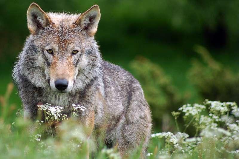 「我終於想要實現我的人生願望,把我對寫作的熱愛與對狼之著迷連結起來。」(flickr@Robert Dewar)