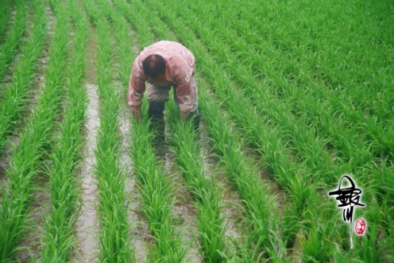耳熟能詳的花蓮銀川米,是青年返鄉轉型農業的重要成果。(圖:花蓮銀川米)