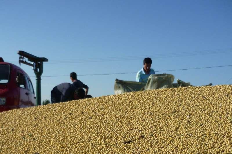 黑龍江墾區建設農場第四管理區職工把收穫的大豆裝袋。(新華社)