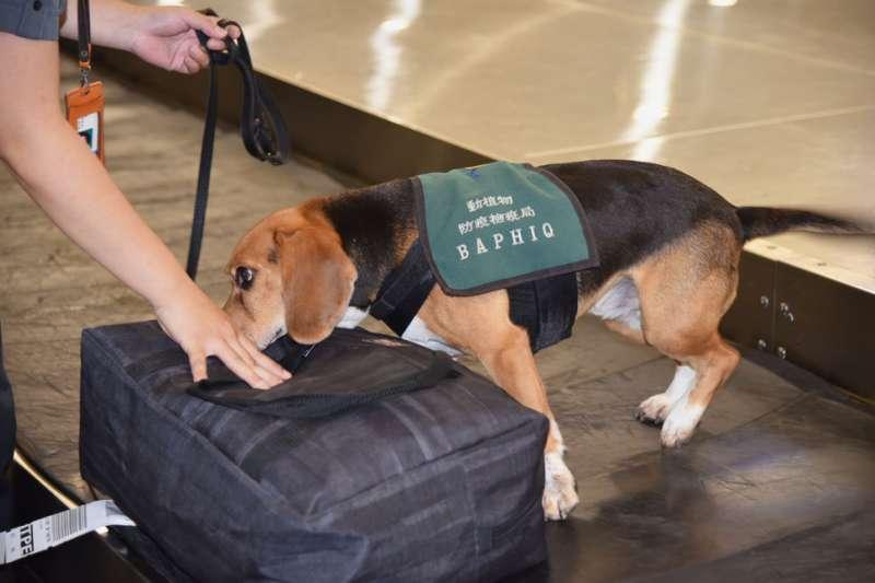 檢疫犬是防檢局防止非洲豬瘟入台的祕密武器。(農委會提供)