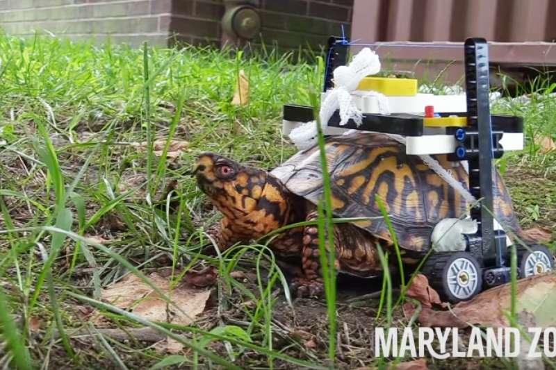 美動物園揪甘心用樂高積木替骨折烏龜做輪椅。(圖/翻攝自YouTube,智慧機器人網提供)