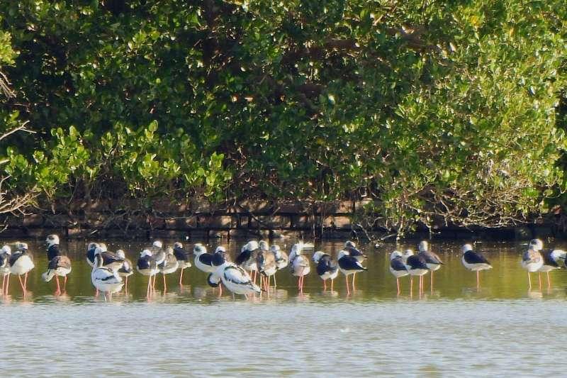 永安濕地位於興達發電廠煤場東側,是內政部指定的國家重要濕地之一,也是黑面琵鷺等珍貴野鳥的棲地。(取自「高雄市永安濕地生態教育中心」臉書)