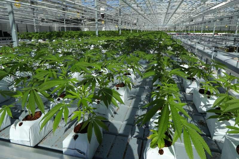 2018年10月17日加拿大娛樂用大麻正式合法上路,圖為種植於溫室的大麻。(美聯社)