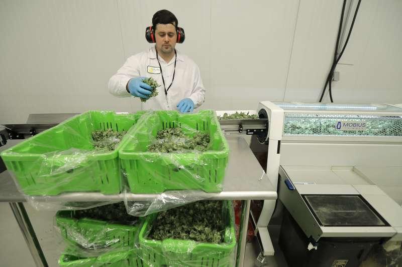 2018年10月17日加拿大娛樂用大麻正式合法上路,種植業者示範修剪大麻葉的機器。(美聯社)
