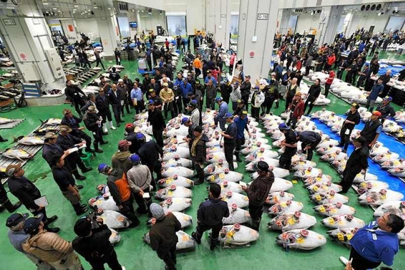 豐洲市場正式開幕,場內舉行首場鮪魚競拍,陸續擺上生鮮鮪魚(左後方)與冷凍鮪魚(圖/潮日本)