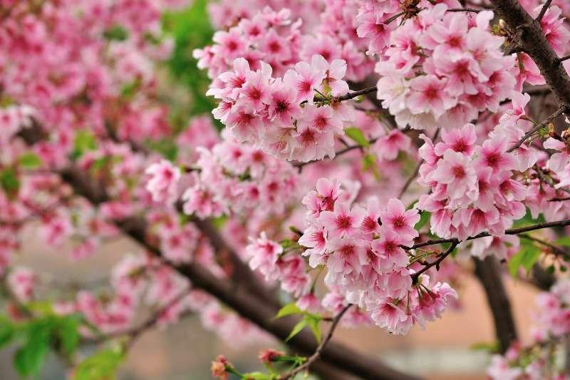櫻花。(此為示意圖,Pixabay)