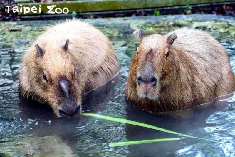 水豚是世界上體型最大的嚙齒動物,呆萌療育的外表讓他們人氣一直都很旺。(圖/臺北市立動物園)
