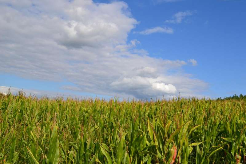 20181022-一望無際的玉米田、是生物能源的原料。(作者提供,取自Pixabay Images)