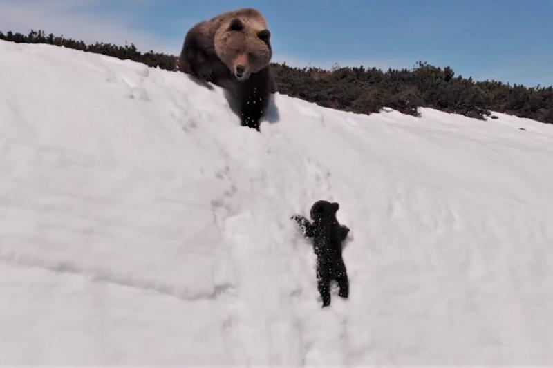 這部「小熊爬雪山」的影片,在網路上引發熱烈迴響,然而,科學家卻從中看見無人機對野生動物造成的困擾。(圖/翻攝自 Youtube,智慧機器人網提供)