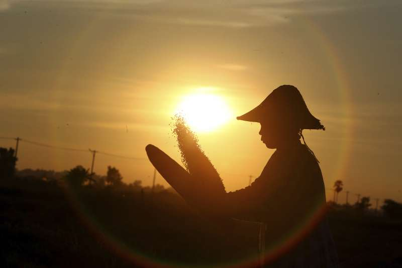 緬甸農民正在田中收割稻米,篩穀。(美聯社)