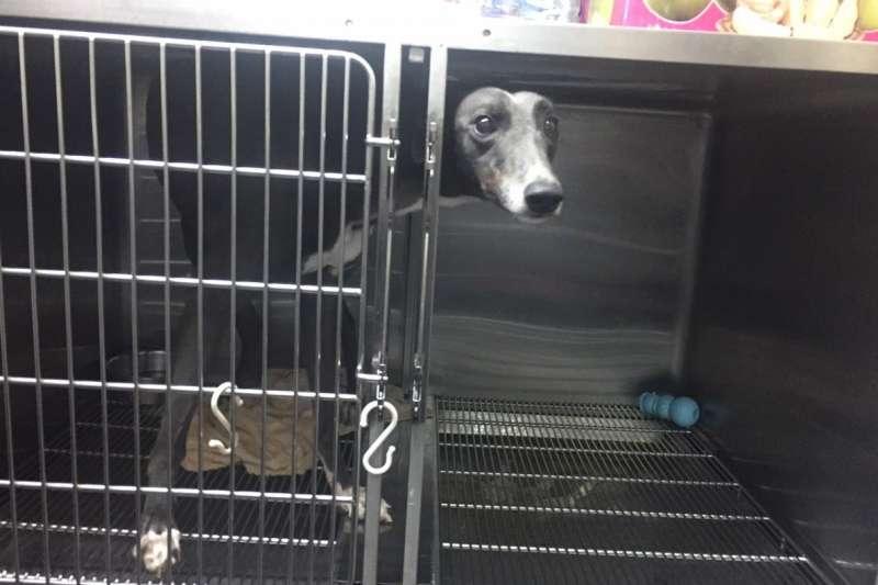 台北市國泰動物醫院被踢爆飼養大量「血犬」建立血庫,更超抽血犬血液。圖為院內血犬。(資料照,翻攝北市府官網)