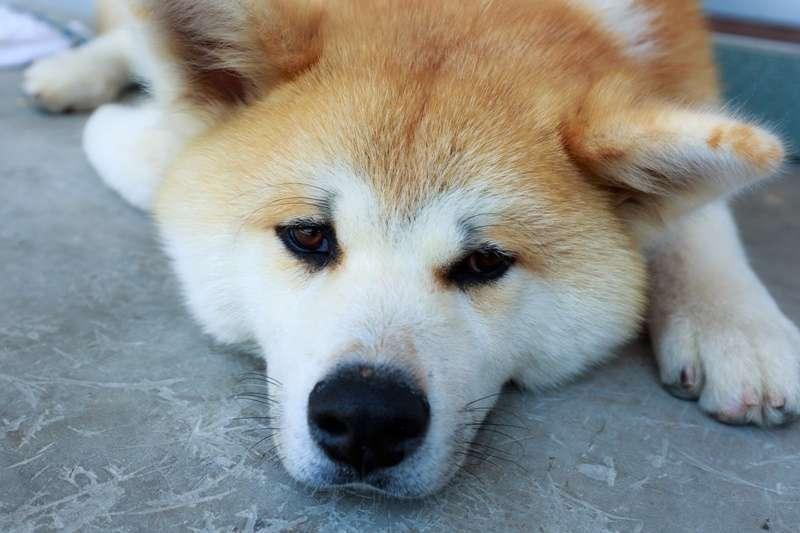陳文茜與狗狗們的感情深厚。(示意圖非當事狗/pakutaso)