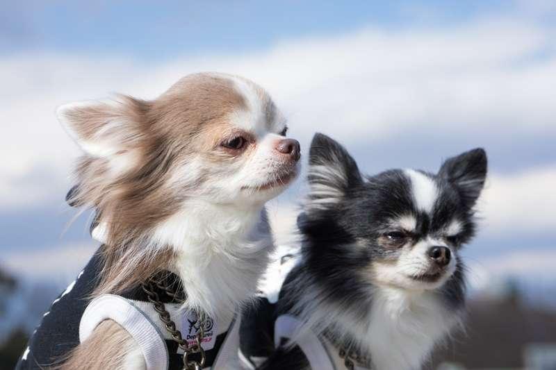 陳文茜與狗狗們的感情深厚,還為毛小孩寫了一首詩。(圖/pakutaso示意圖,非當事狗)