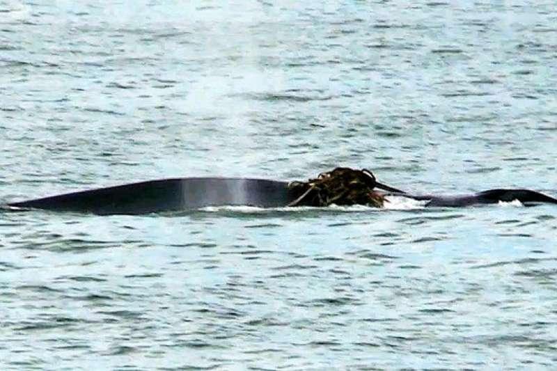 大型鯨魚現身瀨戶內海,身上疑似纏繞著繩索物(圖/潮日本提供)